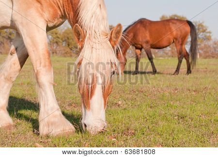 Blond Belgian draft horse grazing in spring evening sun