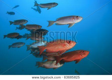 School Red Fish: Bigeyes
