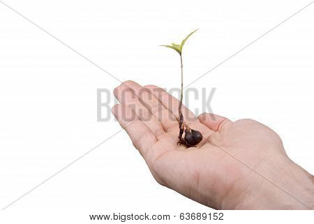 Tree Seedling Oak In Hand
