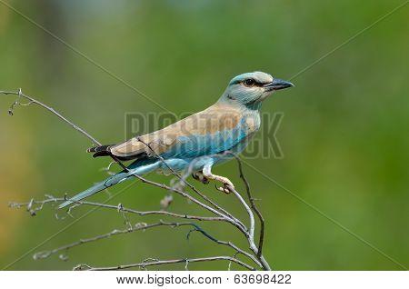 european roller (coracias garrulus) in natural habitat
