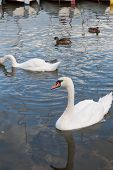 foto of polonia  - Beautiful swan and ducks on the lake in Mikolajki - JPG