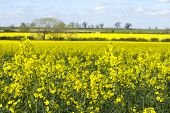 image of rape-seed  - a field of oil seed rape on a sunny day - JPG