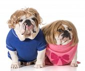 dog couple - english bulldog boy and girl wearing wigs