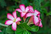 picture of angiosperms  - Desert Rose Flower Plants with beautiful colorful flowers - JPG