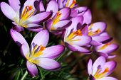 stock photo of saffron  - Crocuses are real spring flowers. Pestle particles of saffron crocus be used as a Saffron spice.