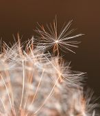 Ready to fly - a single dandelion seed about to separate from the dandelion clock, lit by late eveni