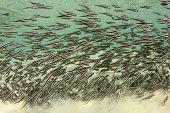 stock photo of catfish  - School of Striped Eel Catfish underwater - JPG
