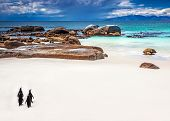 picture of jackass  - Wild South African penguins - JPG