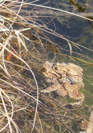 stock photo of baby frog  - Baby frog sit on the back of his or her mother who sits on a water edge - JPG