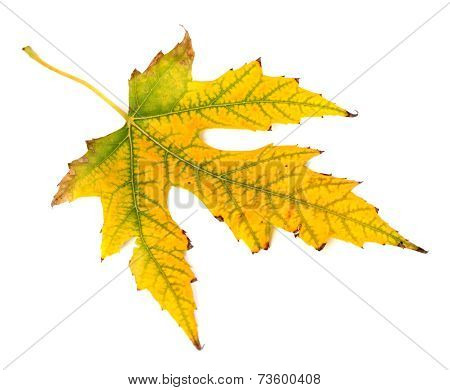 Yellowed Autumn Leaf On White Background