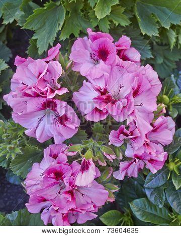 pelargonium flowers natural bouquet