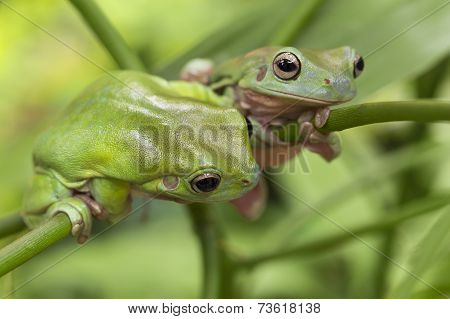 Australian Green Tree Frogs
