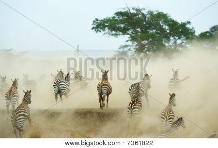 Herd Of Zebras (african Equids)
