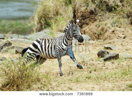 Single Zebra (african Equids) Running