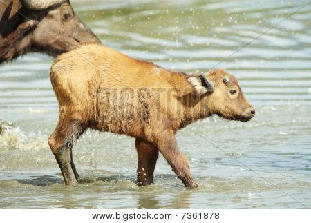 Buffalo (syncerus Caffer) Calf With His Mother