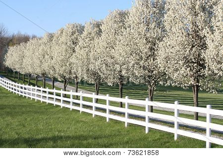 Pear Trees in full blossom