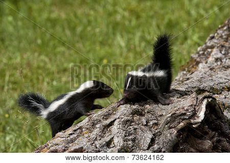 Two Skunk Babies