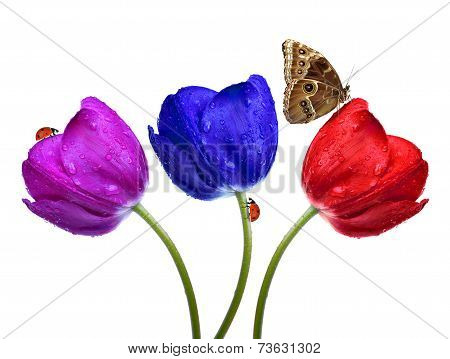 Dewy tulips with butterfly