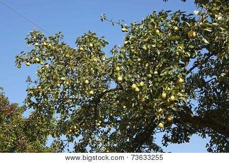 Pear Tree - Branch Of A Pear Tree