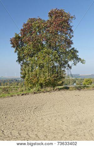 Pear Tree - Single Pear Tree In An Open Landscape