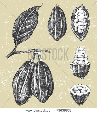 hand drawn cocoa beans set in vintage style