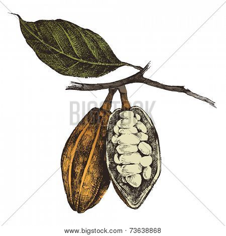 hand drawn cocoa beans in vintage style