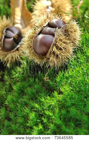 Chestnuts On The Moss