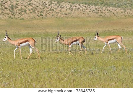 Springbok Trio