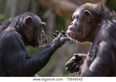 chimpanzee couple