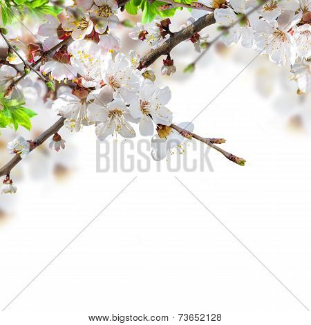 Apricot flowers in spring