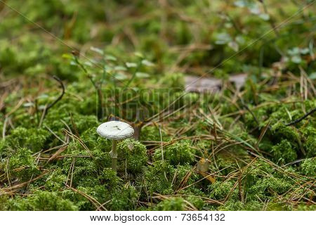 White Mushrooms In The Forest Come The Fall