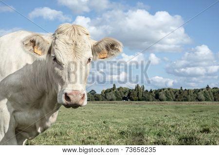 white cowwatching you