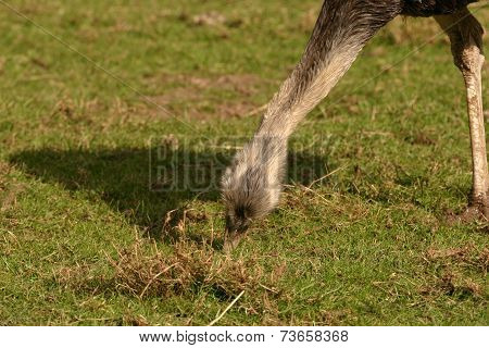 Common Rhea - Rhea Americana