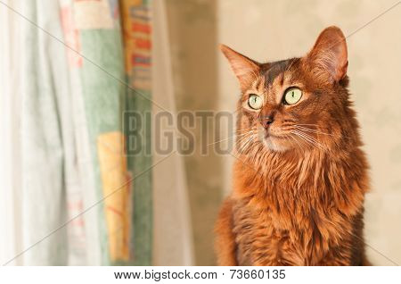 Somali Cat Sitting Portrait