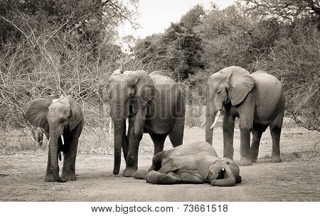 Sleeping elephants in sepia