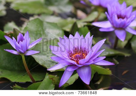 Water Lily flowers with raindrop