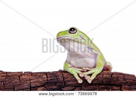 Australian Green Tree Frog on white background
