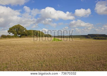 Stubble Field And Oak Trees