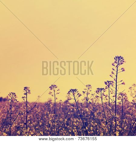 Canola field in vintage style.