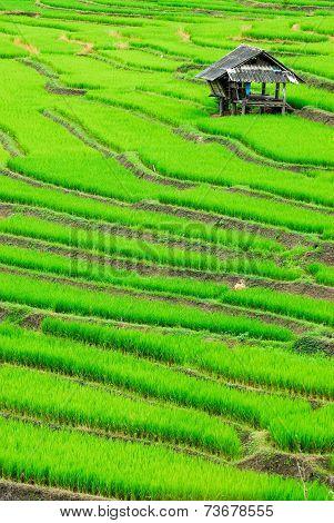 Cottage Terrace rice fields