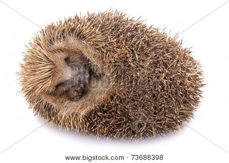 Hedgehog (erinaceus albiventris) sleeping, isolated on white background