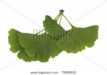 Ginkgo Leaves Isolated