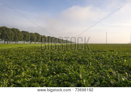 Turnip growing on a field at fall