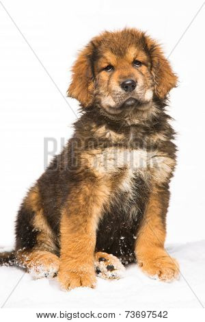 Little Security Guard -  Red Puppy Of Tibetan Mastiff