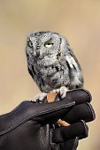foto of screech-owl  - A small screech owl perched on a gloved handlers hand - JPG