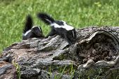 foto of skunks  - Two baby skunks exploring and walking on a log - JPG
