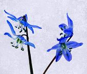 picture of starlet  - some blossoms from filigree blue stars with texture - JPG