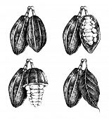 pic of cocoa beans  - hand drawn cocoa beans set in vintage style - JPG