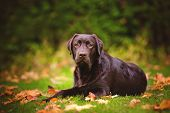 image of labradors  - young brown labrador retriever dog walking outdoors - JPG