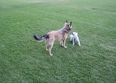 image of dog park  - A small dog checks out a bigger dog - JPG
